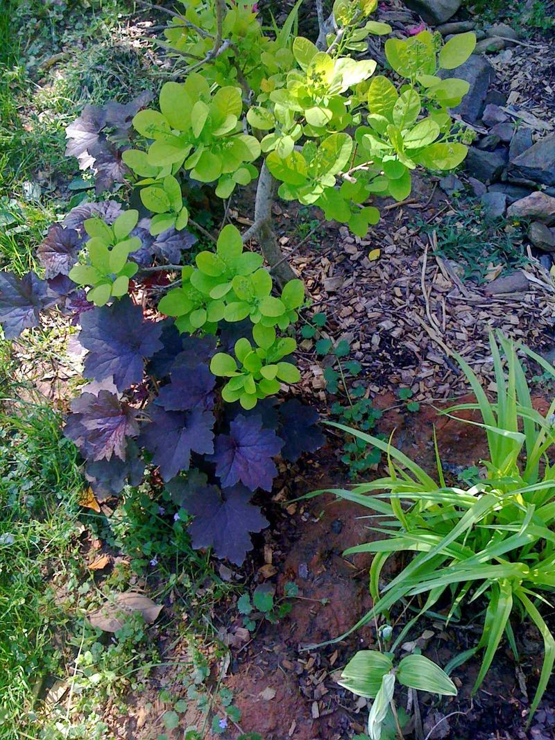 Bradford farm home-cotinus 'golden spirit' heuchera 'amethyst mist'
