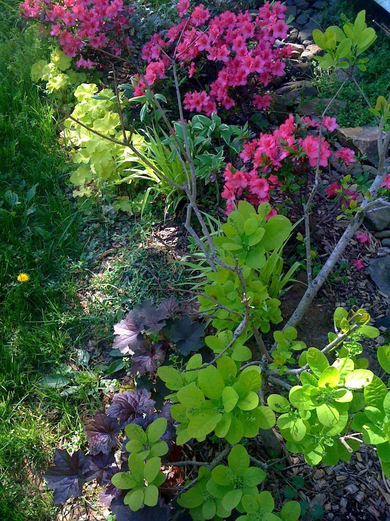 Bradford farm home-cotinus azalea heuchera trdescantia sweet kate low rez