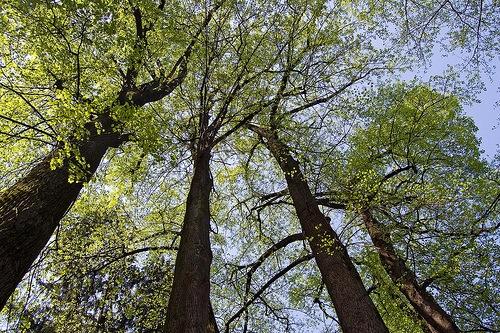 Poplartrees